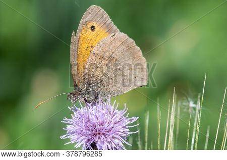 Meadow Brown (maniola Jurtina) Butterfly