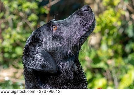 Head Shot Of A Purebred Black Labrador Retriever