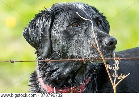 Head Shot Of A Wet Black Labrador Behind A Wire Fence