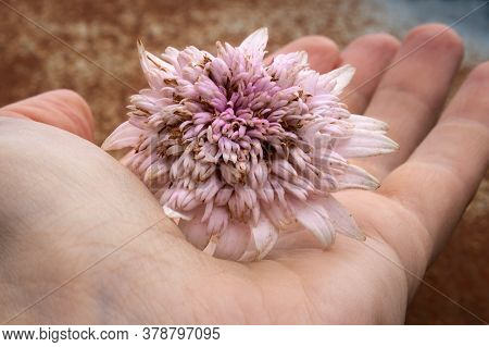 Close-up Of Hand Holding A Wilted Pale China Aster Flower