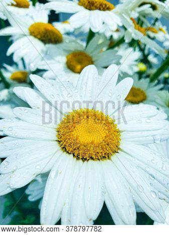 Flowering Of Daisies. Oxeye Daisy, Leucanthemum Vulgare, Daisies, Common Daisy, Moon Daisy. Gardenin