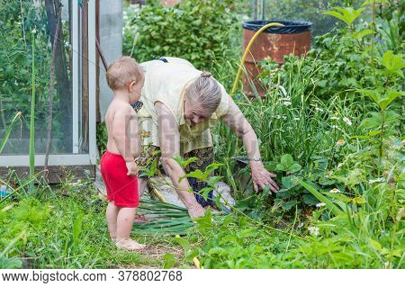 Grandmother Picks Strawberries In Her Country House Garden, Picking Berries.