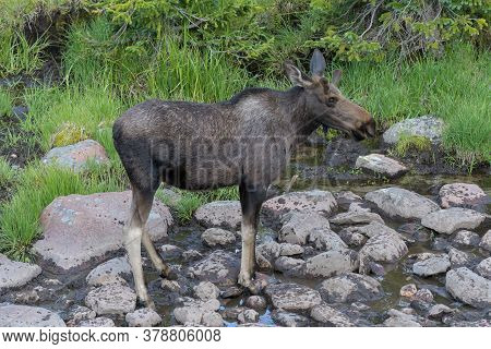 Colorado Moose Living In The Wild. Bull Moose