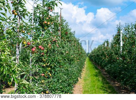 Green Organic Orchards With Rows Of Apple Trees With Ripening Fruits In Betuwe, Gelderland, Netherla