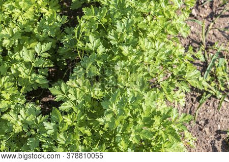 Natural Lighting Of The Frame. Garden. Parsley Is Grown. Without The Use Of Chemicals. Environmental