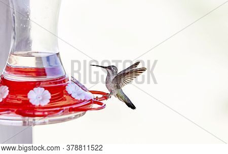 Hummingbird On A Feeder Preparing To Drink The Nectar