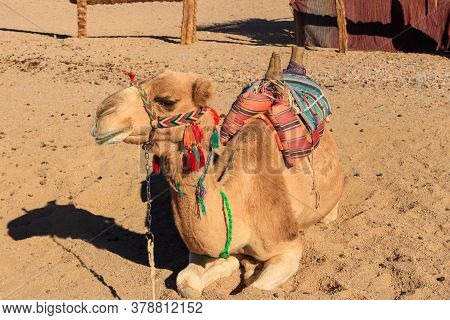 Camel With Traditional Bedouin Saddle In Arabian Desert, Egypt