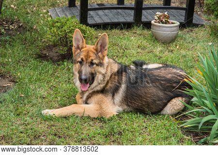 Shepherd Portrait. A Cute East European Shepherd Dog.