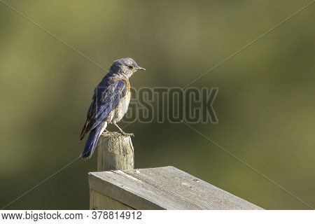 A Female Western Bluebird Is Perched On A Post At Farragut State Park In Idaho.