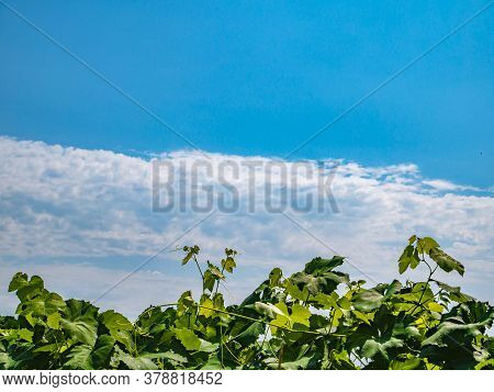 Grapevine Against A Background Of Blue Sky With Clouds.
