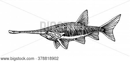 Freshwater Paddlefish, Rare Commercial Fish, Delicious Food, For Logo Or Emblem, Engraving, Vector I