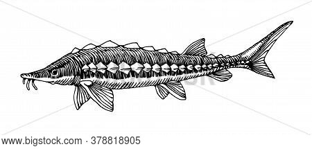 Freshwater Sturgeon, Rare Commercial Fish, Delicious Food, For Logo Or Emblem, Engraving, Vector Ill