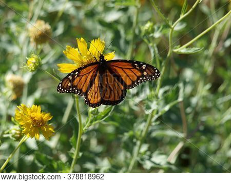 A Monarch Butterfly Sits On A High Nectar Plant's Bloom With Its Wings Fully Open To Display Its Mag