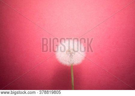 dandelion flower on pink background