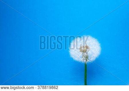 dandelion flower on blue background