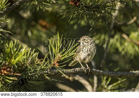 A Cute Song Sparrow Is Perched On A Pine Branch In North Idaho.
