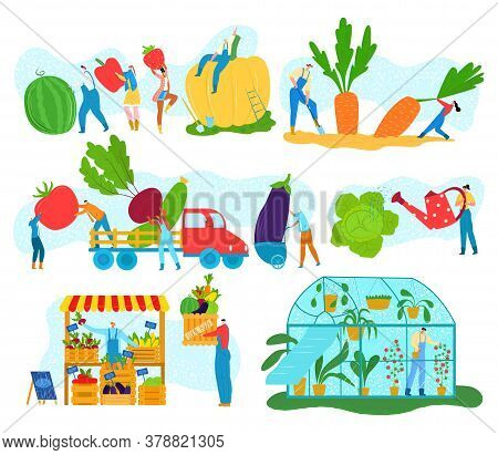 Farm Harvest Of Organic Vegetables, Tiny People Gathering Crops Or Agriculture Vector Illustrations