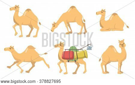Various Camels With One Hump Flat Icon Set. Group Of Cartoon Desert Caravan Arabian Dromedary With S