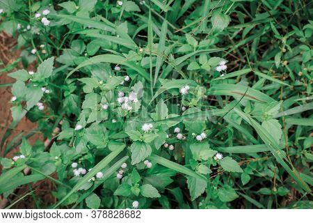 Close Up Chromolaena Odorata (minjangan, Siam Weed, Christmas Bush, Devil Weed, Floss Flower, Triffi