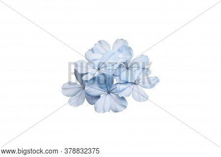 Beautiful Blue Cape Leadwort Or White Plumbago Isolated On White Background, Is A Thai Herb And Cont