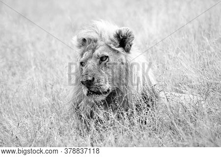 The Southwest African Lion Or Katanga Lion (panthera Leo Bleyenberghi), Adult Male With A Typically