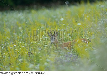 A Roe Deer With Antlers In A Rut Walks Through A Meadow Full Of Yellow Flowers