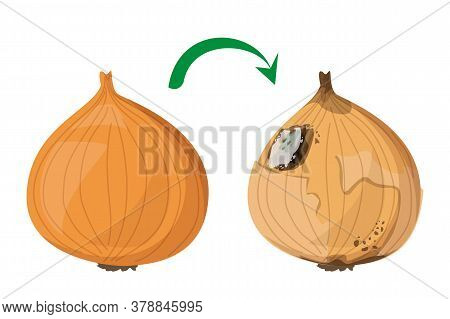 Fresh Onion Becomes Rotten Vector Isolated. Organic