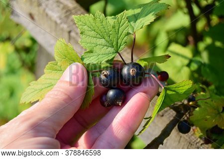 Concept Of Agriculture Is The Collection Of Black Currant Berries. A Woman's Hand Picks Black Curran