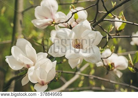 Blossoming Of Magnolia White Flowers In Spring Time, Natural Seasonal Background
