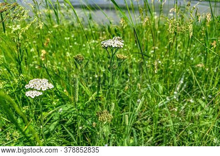 Stems Of Flowering Achillea Millefolium Among Juicy Bright Green Young Grass In The Meadow. White In