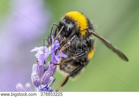 Bumblebee On A Blooming Purple Lavender Flower And Green Grass In Meadows Or Fields Blurry Natural B