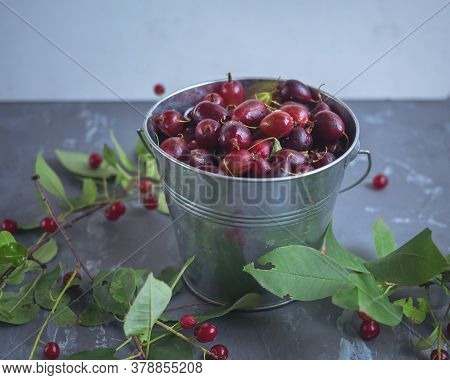 Ripe Gooseberries In A Tin Bucket And Sprigs Of Red Bird Cherry On A Gray Background