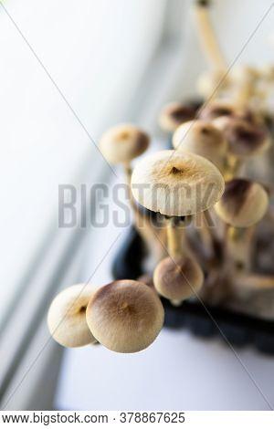 Fresh Psilocybin Shroom.fungi Hallucinogen. Growing Albino A Strain. Psilocybin Cubensis Mushroom.