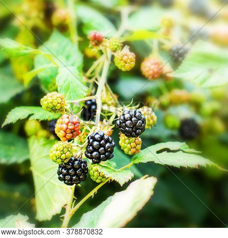 Close-up Of Ripening Wild Blackberries On A Branch