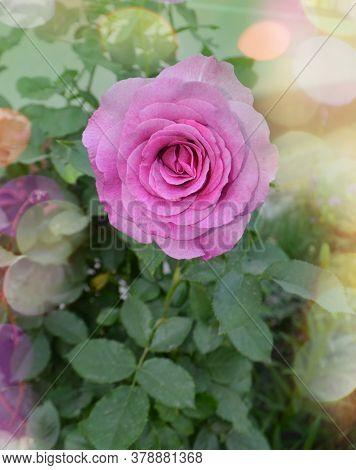Blooming Lavender Roses On The Bush In Rose Garden