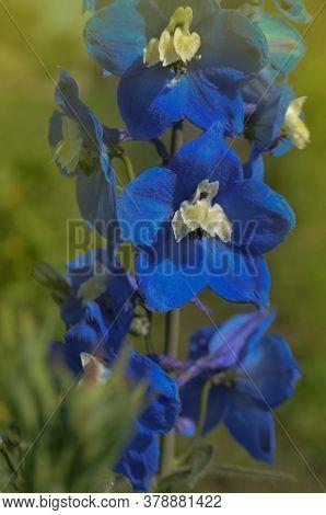 Delphinium Perennial Flowers. Blue Delphinium Flower