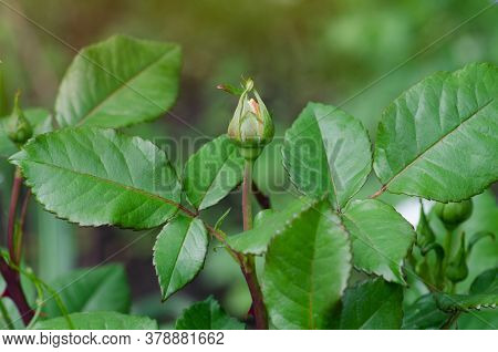 Green Rose Leaf And Green Bud Growing On The Branches