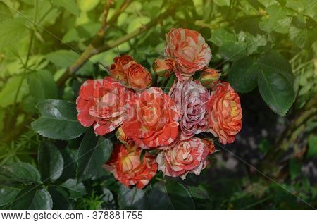 Beautiful Unique Two Color Rose. Striped Pink Orange Flower Grown.