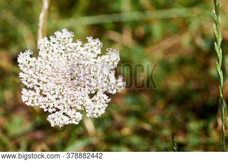 Daucus Carota Plants Or Wild Carrot In Bloom.
