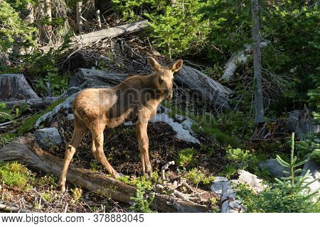Colorado Moose Living In The Wild. Moose Calf In The Forest.