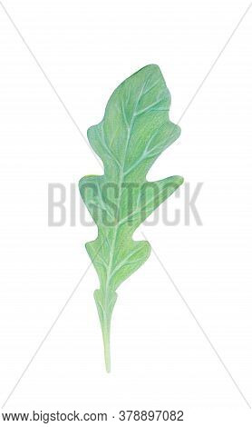 Arugula Rucola, Rocket Salad Fresh Green Leaf Isolated On White Background. Watercolor Hand Drawn Il