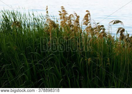 The Tall Grass And Reeds By The Lakeshore