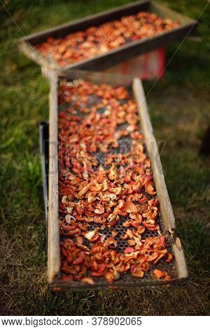 Apricot Slices Are Dried On A Two Wooden Trays In A Summer Garden