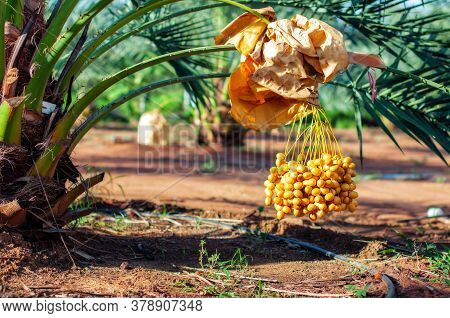 Bunch Of Fresh Yellow Date Fruit Hanging On Date Fruit Palm Tree In The Garden.