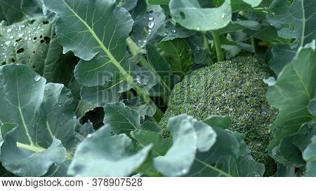 Cauliflower Plant With Young Cauliflower Head. Brassica Oleracea. Water Drops On Cabbage. Sunny Weat