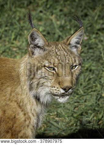 Boreal Lynx In The Wild Staring At Something