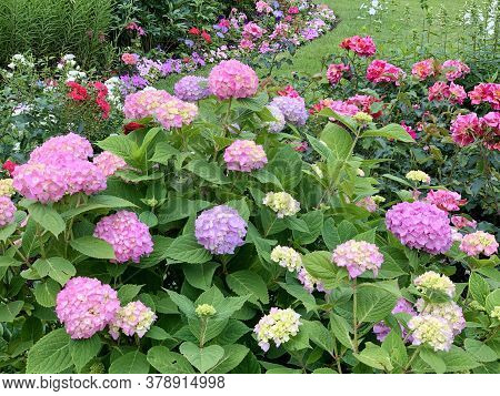 A Lush Hydrangea Bush, Pink Purple Globular Inflorescences, Near A Lot Of Different Bright Flowers,