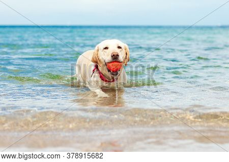Labrador Swims In The Sea And Carries A Ball, A Dog Plays In The Water In Summer, Pets In Nature