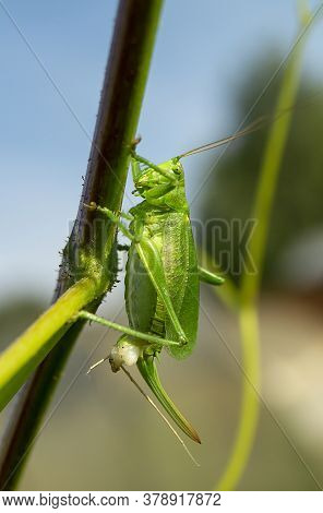 The Grasshopper Green Close-up On Background Blue Sky.insect On Branch At Solar Day
