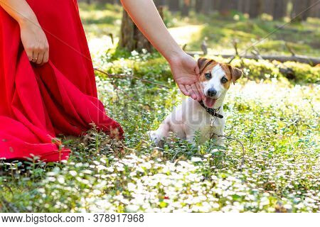 A Dog Jack Russell Is Sitting On A Sunny Forest Glade, Looking At Camera, Stuck Out Her Tongue. A Gi